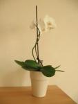 orchidee-im-topf